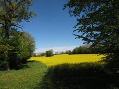 mery-es-bois-paysage-colza