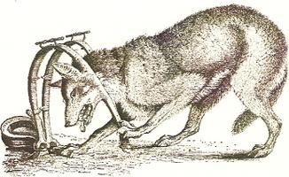 loup-pris-au-piege